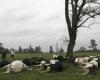 В Чили молния убила более 60 коров