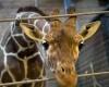 Европейские зоопарки убивают до 5000 здоровых животных в год