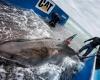Большие белые акулы посещают  пляжи чаще, чем мы думаем