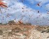 Мадагаскар: 13 миллионов человек могут погибнуть из-за нашествия саранчи