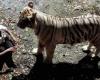 В зоопарке тигр разорвал посетителя