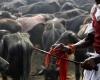 Самое массовое жертвоприношение в мире – будет забито 10000 буйволов