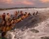 Сотни людей пытались спасти кита, которого выбросило на берег