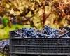 Фестиваль виноградных боев