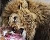 В Копенгагенском зоопарке убили 4 львов