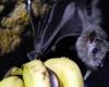 В Гвинее запретили есть летучих мышей