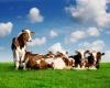 Некомфортабельный перелет коров или экстренная посадка в Лондоне