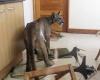 Чилийская семья нашла дома пуму