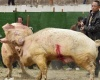 Свиные бои в Китае