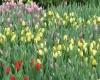 18 января в Нидерландах отмечают День тюльпанов