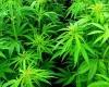 В Уругвае теперь можно выращивать и продавать марихуану