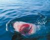 Акулы-людоеды вновь атакуют побережье Австралии
