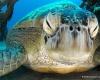 TDIC объявил о вылуплении черепах каретта
