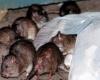 На Мадагаскаре 39 человек умерли от бубонной чумы