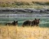 Встречи  туристов с медведем Гризли участились
