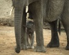 В Зимбабве отравили более 40 слонов